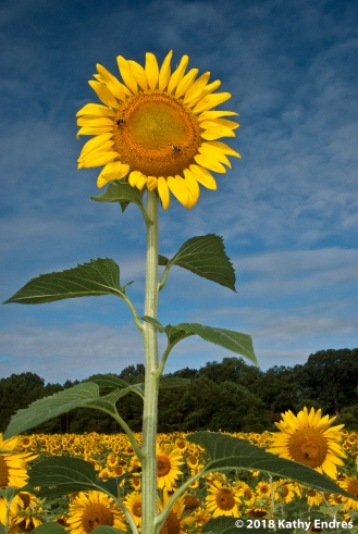 KathyEndres_Sunflowers1