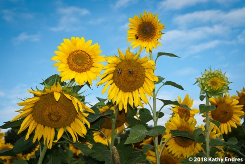 KathyEndres_Sunflowers2