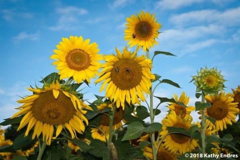 KathyEndres_Sunflowers2