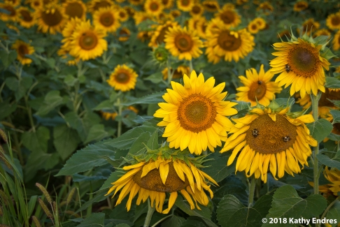 KathyEndres_Sunflowers3