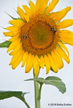 KathyEndres_Sunflowers4