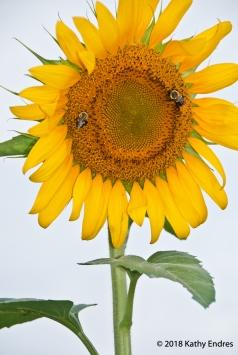 KathyEndres_Sunflowers4